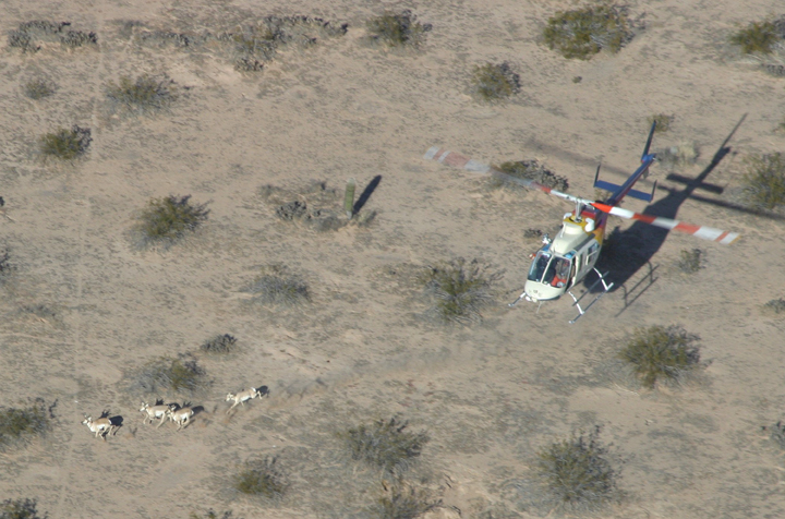 An aerial shot shows a red and white helicopter over the desert, herding four antelope over the rough ground.