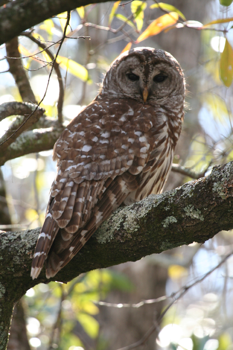 A brown and white owl is perched on a branch.  The close up shows his wide, dark eyes and distinctive feather markings.