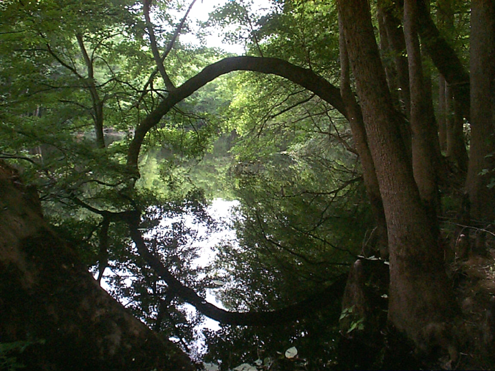 A bowed tree reflects a mirror image onto the still water below; together, they make an almost perfect circle.