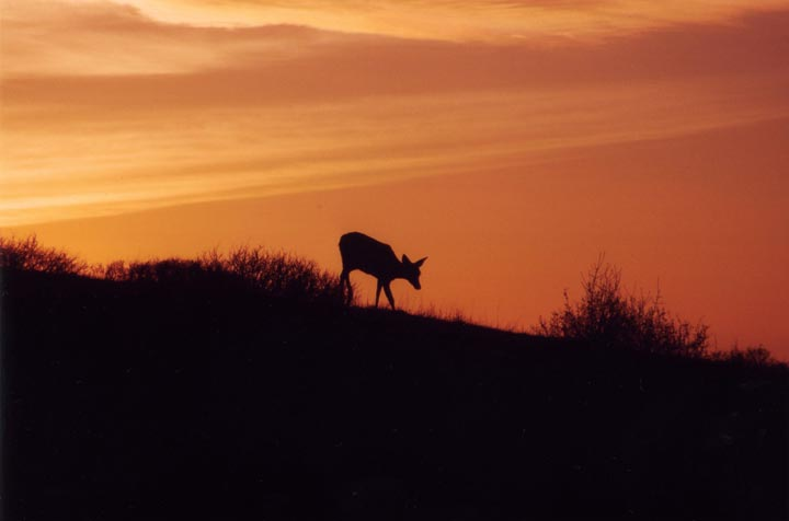 The silhouette of a deer on a ridge is accented further by the fiery red and oranges of a glorious sunset.