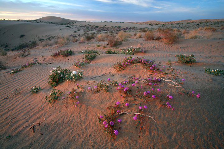 Sunrise bathes the sand in red and gold, revealing swathes of purple and white flower basking in green patches on the beach.