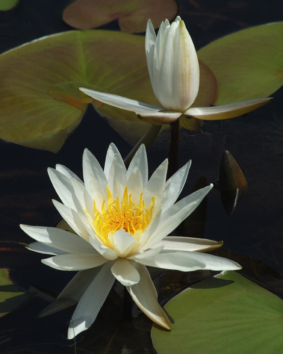 Close up of a pair of water lilies, one in full bloom and one not.