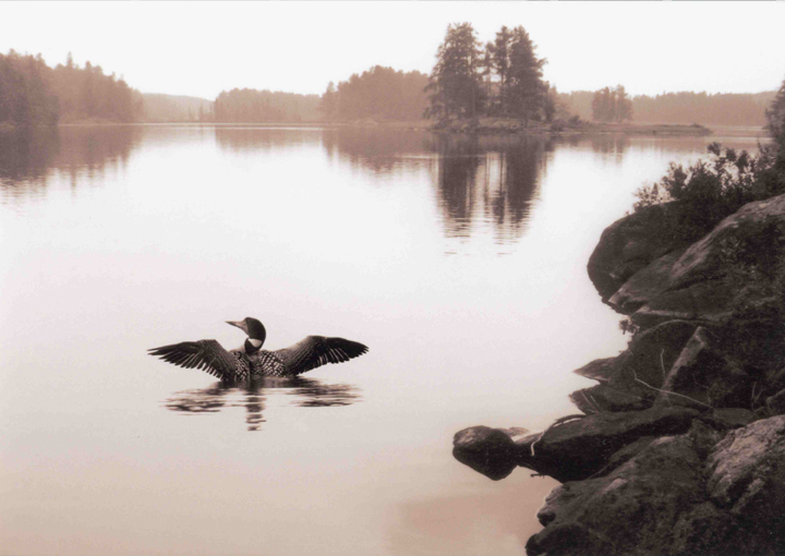 A duck enters the water and this shot captures the duck's expanded wings. The water and surrounding area are glazed over in a pink hue.