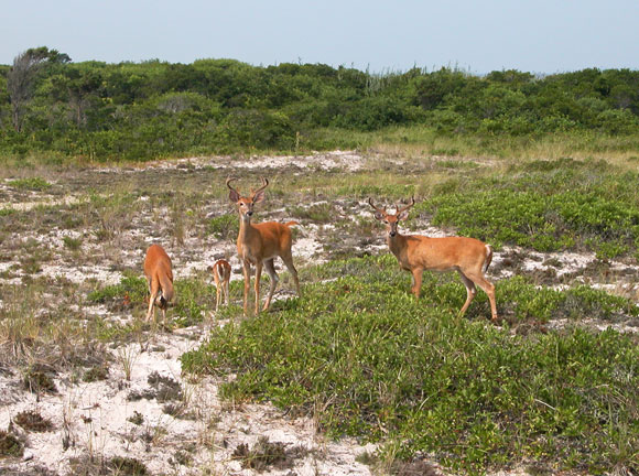 Four tawny colored deer--including a fawn--work their way across a brushy beach.
