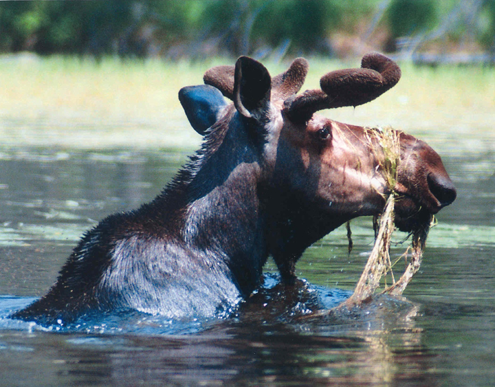 A moose with velvet antlers stands neck deep in a lake munching on water plants.