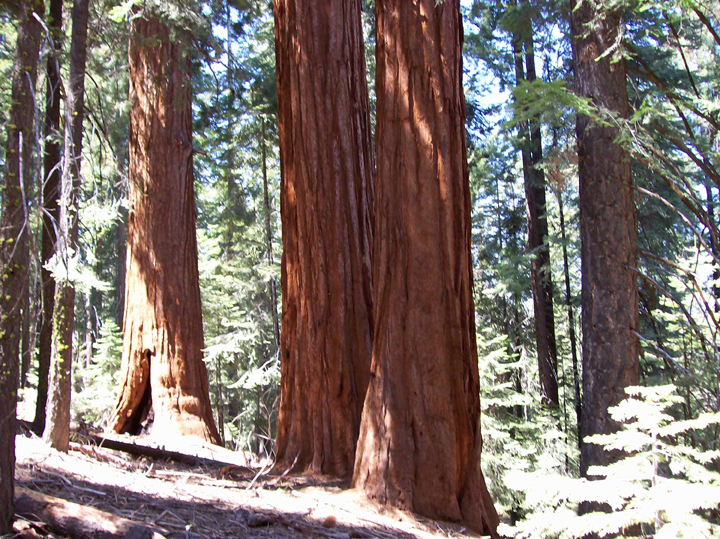 This photo of the Giant Sequoia Grove portrays captures the sun's rays as they filter through the tree tops and brighten the sequoia trunks.