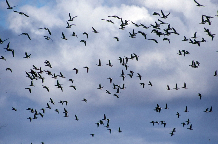A flock of birds wing across a blue sky littered with white fluffy clouds.