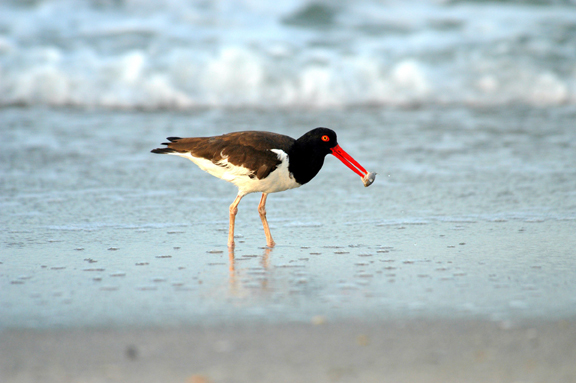 A longlegged bird fishes in the surf. Its brilliant red beak stands out against its dusky brown feathers and white underbelly.