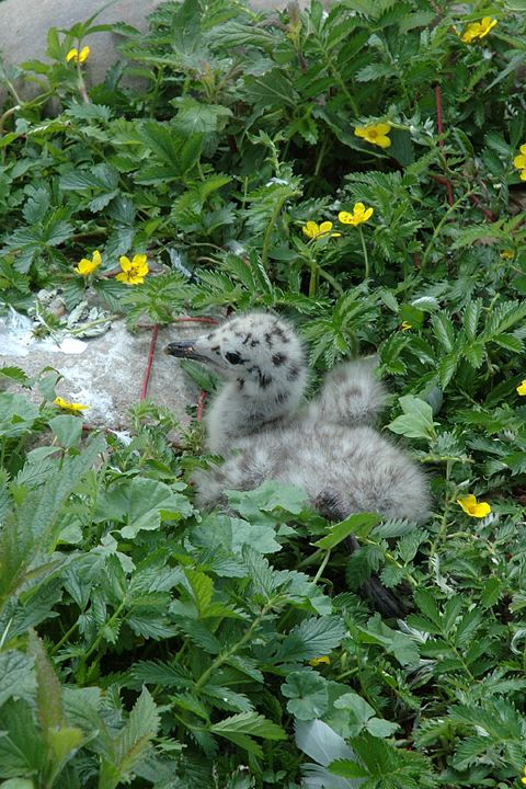 A Herring Gull chick sits in a nest of green foliage and little yellow flowers. This chick is grey and spotted with black dots.