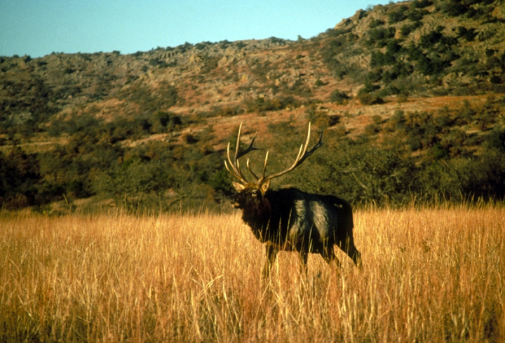 The male elk with large antlers walks through tall grass prairie.