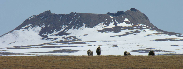 A shot of the Nanwaksjiak Crater reveals the patches of snow that cling to the crater while a handful of muskox linger in the foreground.