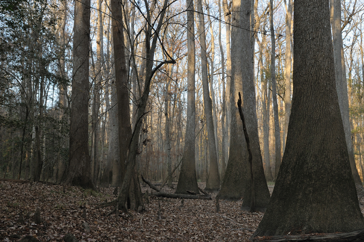 The forest rests in shadow; the tall cypress trees looking foreboding in the low light.