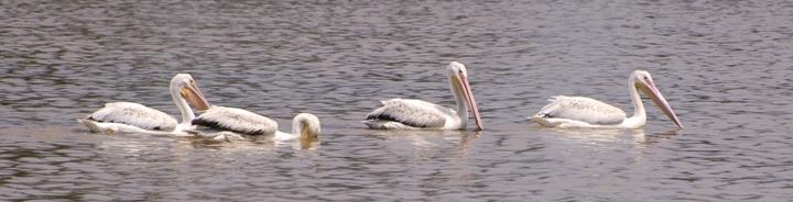 Four lazy pelicans drift along through still waters.