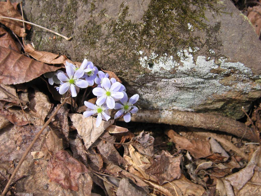 A close-up of a small clump of delicate purple flowers with green centers, growing from the base of a small moss-covered rock, surrounded by brown leaves.