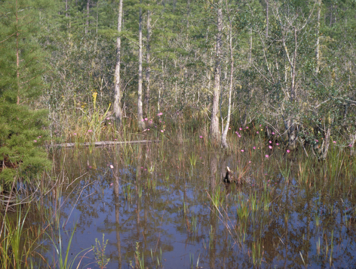 A marshy scene is filled with half submerged trees and wet grasses, some flowering into pretty pink blooms.