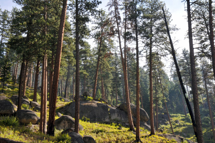 Tall pine trees grow among a group of rounded rocks.