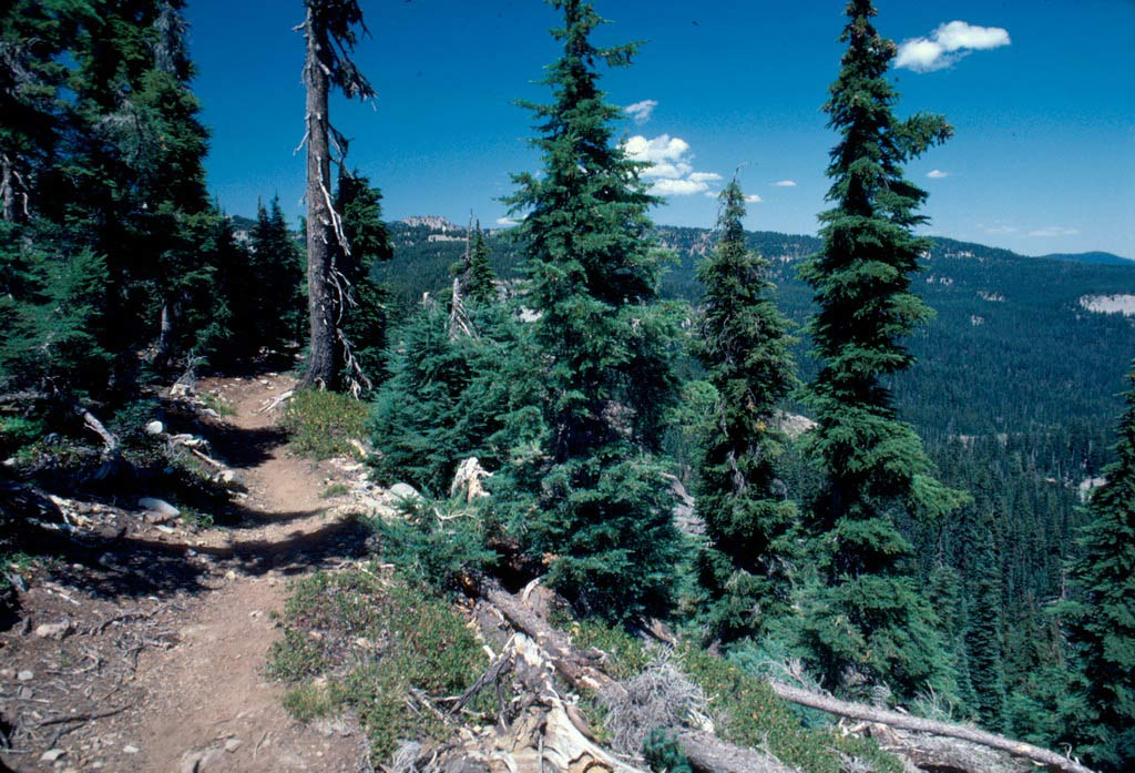 A narrow path winding along the edge of a steep slope, bordered by scraggly evergreen trees.