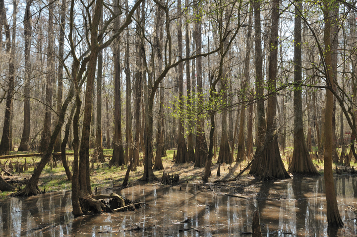 The cypress trees are beginning to have their roots covered in murky brown waters; new growth blooms hesitantly on the branches.