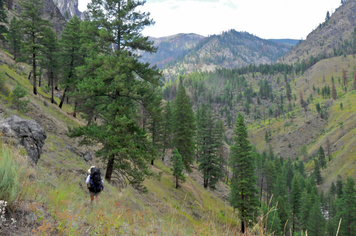 A hiker desends a steep slope covered with scattered pine trees.