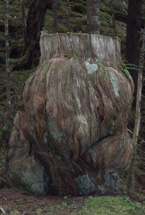 A giant tree stump sits on the bottom of a moss covered forest floor.