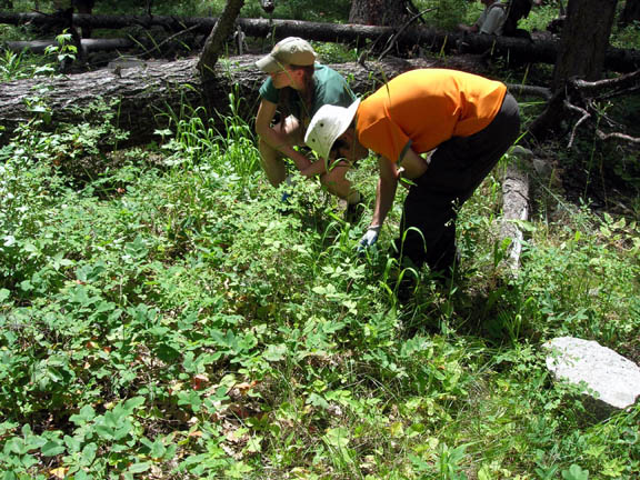 Two volunteers investigate the plant life near some large fallen trees. Taken during University of Montana summer 2007 volunteer weed inventory study.
