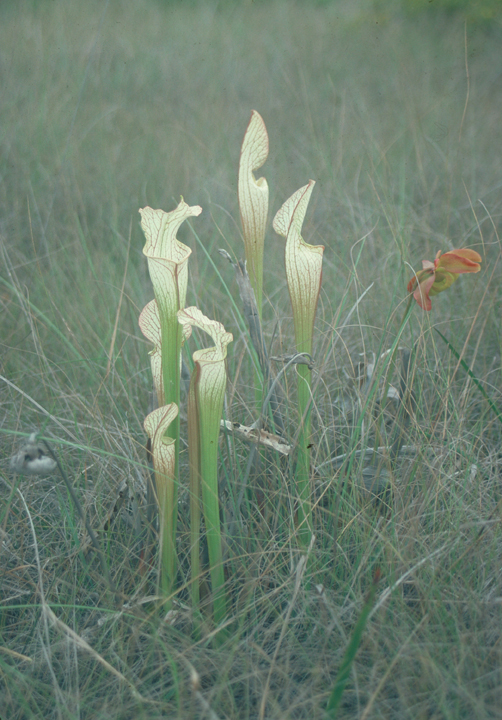 Sarracenia Leucophylla, a pitcher plant that captures rain to trap insects. The plants sit among grasses.