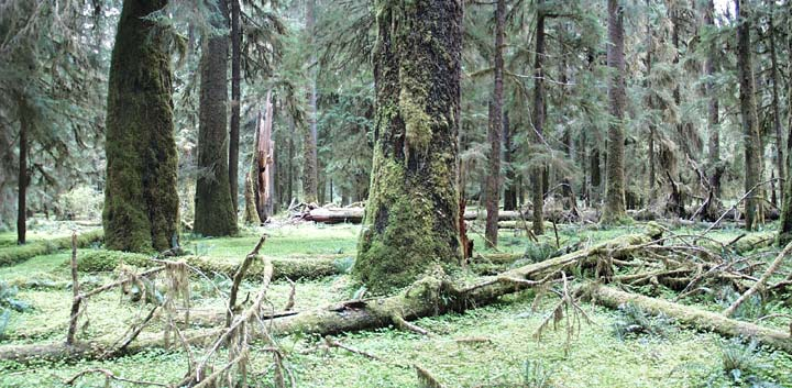 Panoramic of temperate rainforest old-growth trees covered in thick green moss.
