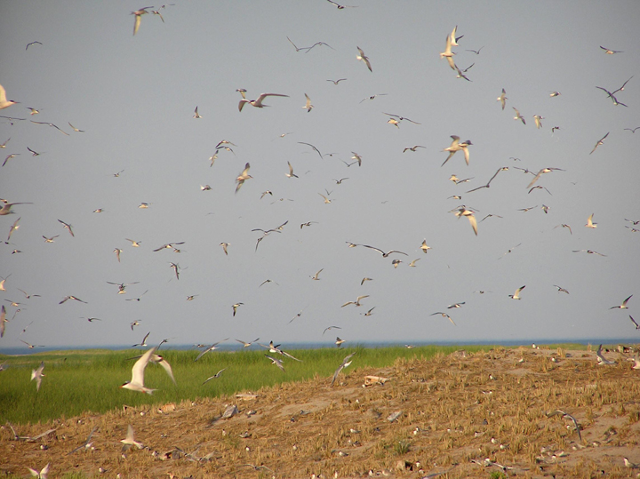 Common Terns in flight over the prairie lands of the Monomoy Wilderness.