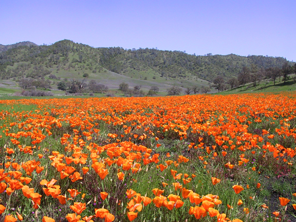A vast field of orange  poppies stretches out to the green hills in the distance.