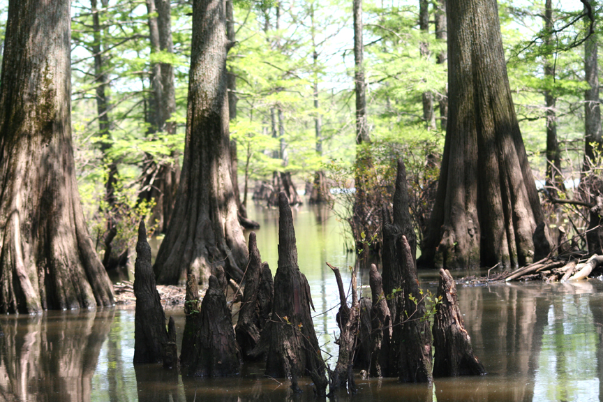 Bald Cypress knees along Katy Ray Ridge. The knees stick out of a shallow body of water as the sun's rays filter through the trees.