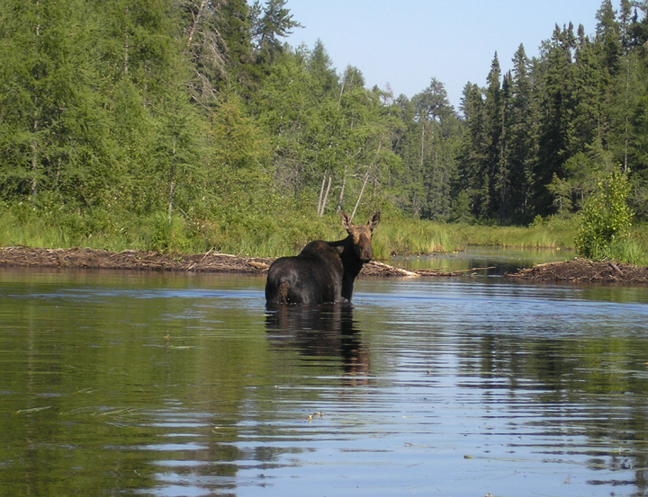 A moose poses in the water of Cherokee Creek Portage.