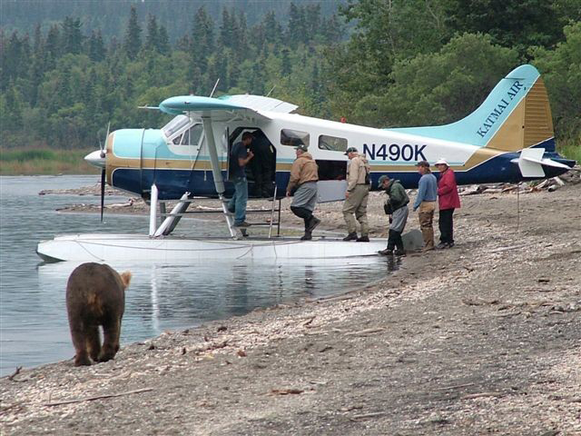 A brown bear strolls along the rocky edge of a lake, headed straight towards a group of people boarding a float plane.