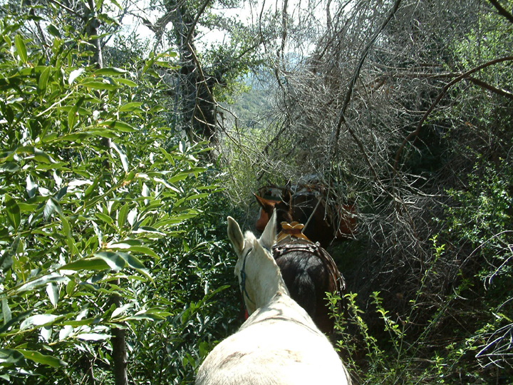 Lush greenery on an overgrown trail nearly envelops the white mule and his compatriots in the pack string.  In this picture, taken looking forward from the back of one of the horses, you can see the path ahead is covered in more branches and green growth.