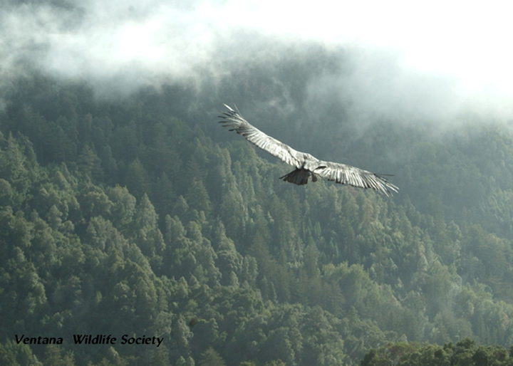 A huge condor sails through the sky, wings gilded by sunlight and the forest below shrouded in fog.