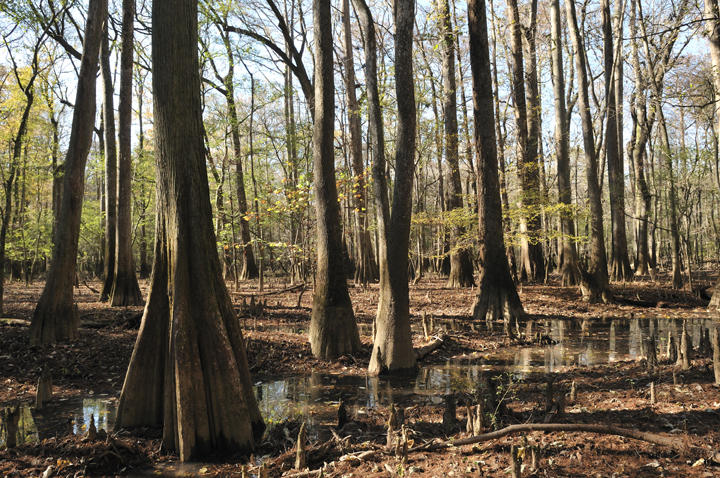 The marsh is sunny, but still looks rather dark with all of the big cypress trees and murky brown waters.