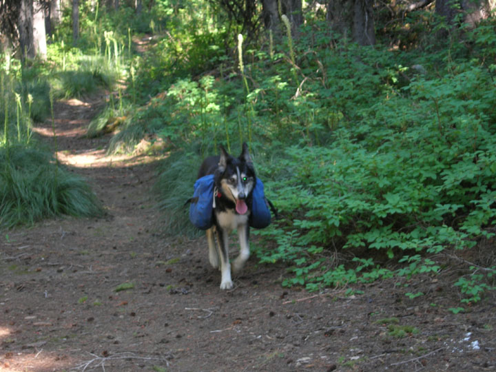 A Husky dog packs gear and treks along a trail during University of Montana summer 2008 volunteer weed inventory study.