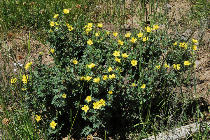 A small shrub dotted with small yellow flowers growing the the alpine vegetation.