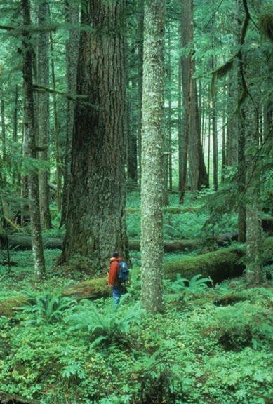 A hiker is dwarfed by an old growth Douglas fir amidst lush ground flora.