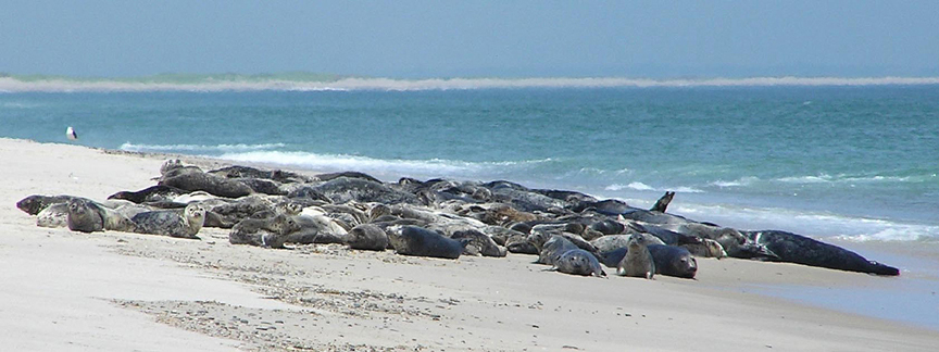 A panoramic shot of gray seals on the beach as the ocean water laps at the beach's edge.
