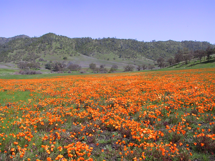 A field of orange poppies sweeps out to the hills on the horizon.