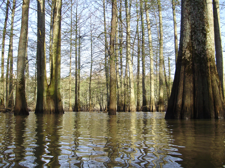 Cypress trees stand tall as their area is flooded with water.