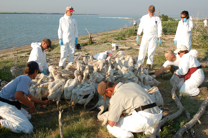 A group of white clad personnel huddle around a flock of pelicans on the lakeshore.
