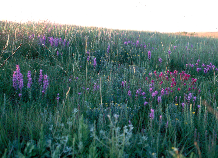 Wildflowers dot the grassland of this area in the Lostwood Wilderness.