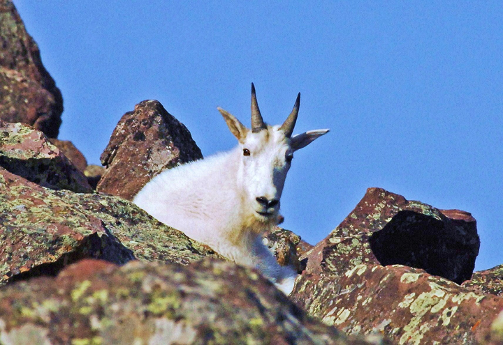 A young snow white mountain goat sits among the rocks glancing curiously toward the photographer.