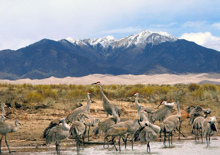 A small flock of Sandhill Cranes feed in shallow water with sand dunes and high snowcapped mountains in the background.