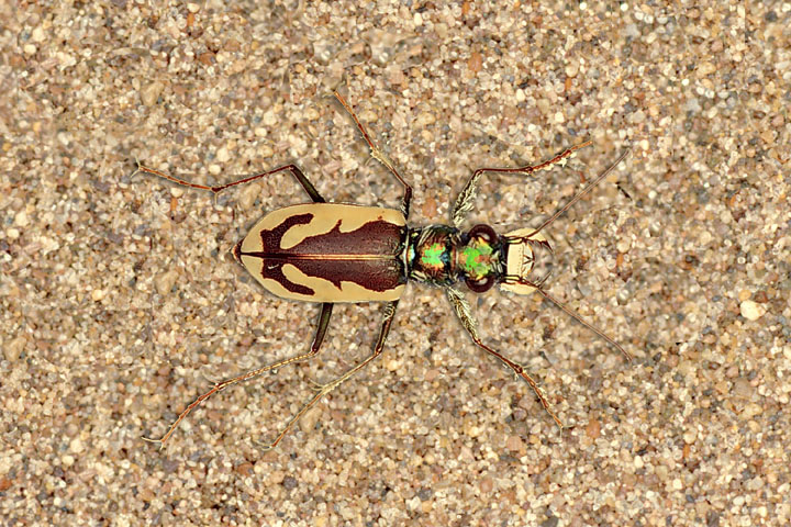 A colorful striped beetle with large jaws on a background of bright sand.