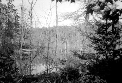 A black and white photograph of a section of flooded forest, caused by a beaver dam.