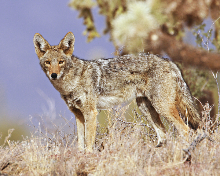 A coyote seems almost within reach, his eyes boring into the viewer and his dusky brown gray pelt shining in the sun.