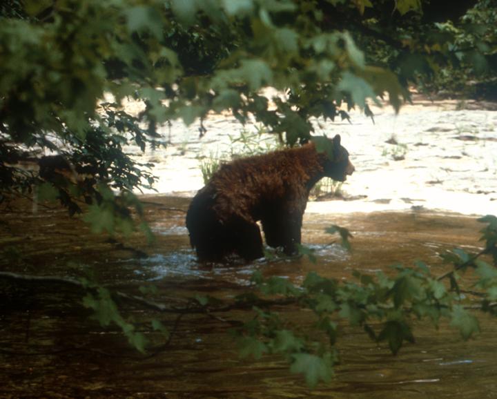 A black bear in a creek, shot from the far bank.