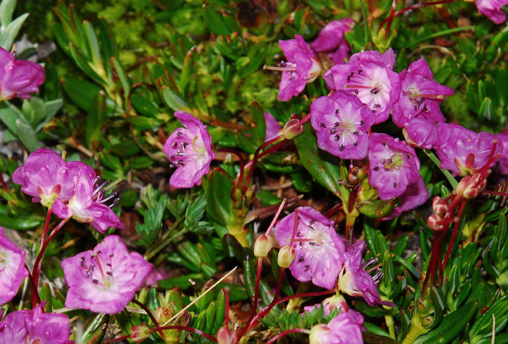Small light purple flowers with white centers growing up from dark green vegetation.